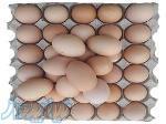 فروش تخم مرغ مادر به قیمت درب مرغداری
