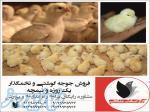 فروش جوجه یک روزه مرغ