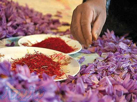 کاشت و تولید زعفران
