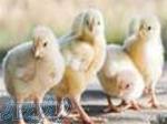 تخم مرغ نطفه دار و خوراکی بومی
