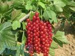 فروش نهال میوه های کمیاب و خاص