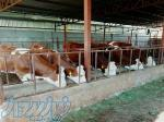 خرید و فروس گوساله
