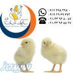 فروش جوجه یکروزه مرغ گوشتی
