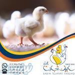 فروش جوجه یکروزه مرغ گوشتی نژاد راس 308