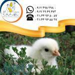فروش جوجه یکروزه مرغ گوشتی نژاد پلاس