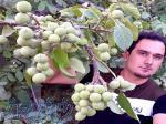 فروش نهال گردو و میوه