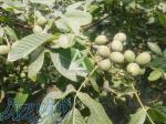 نهالستان آذر سبز - تولید و فروش انواع نهال گردو