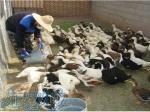 دوره آموزشی پرورش اردک و غاز