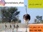 فروش و صادرات جوجه شترمرغ به عراق و کشورهای همسایه09131007689