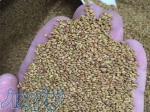 فروش بذر یونجه ی دیمی   گرمسیری و سردسیری