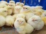 اردک پکنی سفید گوشتی