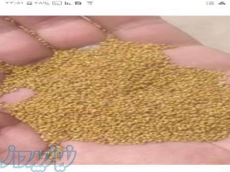 فروش بذر یونجه ی گرمسیری ،  فروش بذر یونجه در ایلام
