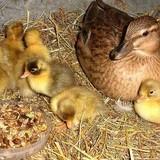 راه اندازی پرورش اردک - تهران