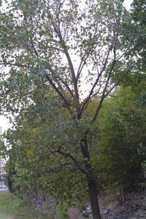 چوب صنوبر