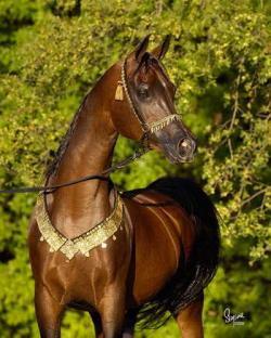 خرید و فروش اسب عرب - كرمان
