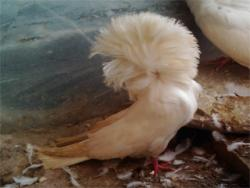 کبوتر زینتی