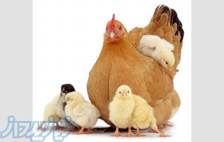 فروش جوجه مرغ تخمگذار ، مرغ تخم گذار