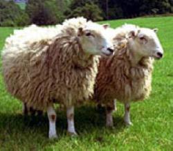 فروش گوسفند زنده در ارمنستان - تهران