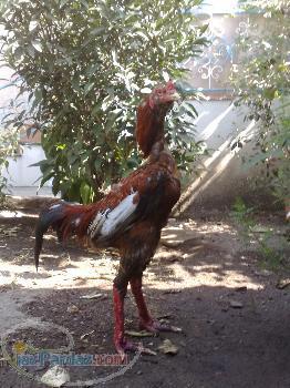 فروش مرغ و خروس لاری اصل