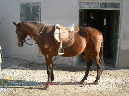 فروش يك راس اسب سيلمي تروبرد خالص