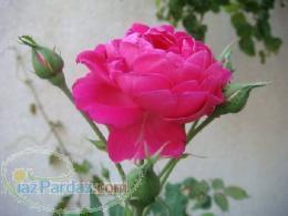 فروش قلمه گل محمدی و پاجوش گل محمدی
