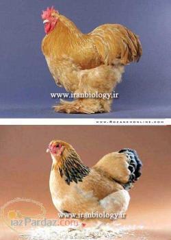 مرغ زینتی