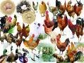 فروش تخم نطفه دار وجوجه ی انواع پرندگان - تهران