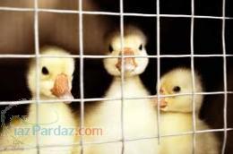 فروش جوجه اردک بومي و مرغ بومي09121986651