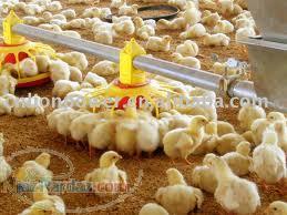 تحریک مرغ به دان خوردن اشتباه مرغداران