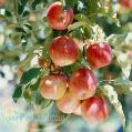 نهال سیب خرید نهال سیب گالا گلدن دلیشز(لبنانی زرد ) رددلیشز(لبنانی قرمز) گرانی اسمیت(سیب سبز فرانسه)