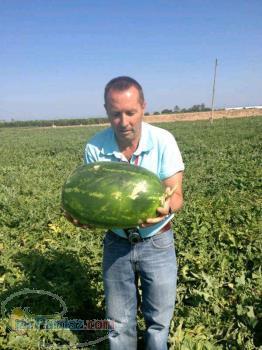 بذر هندوانه یلدا