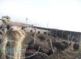 فروش زمین و مزرعه فعال پرورش شترمرغ