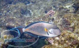 فروش عمده ماهی آبشور ونرمتنان زینتی وشقایق دریایی