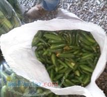فروش خیار سبز Sales cucumber