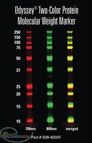 نشانگر پروتئین-protein marker