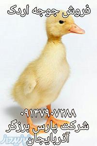جوجه اردک، فروش جوجه اردک،جوجه یکروزه اردک