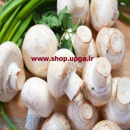 فروش بذر قارچ خوراکی با واریته های مختلف نسل اول