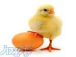 پیش فروش جوجه شترمرغ درسال97 اصفهان