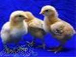 فروش جوجه شترمرغ در کرمان