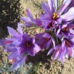 زعفران نمونه