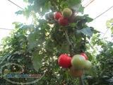 فروش بذر گلخانه ای گوجه فرنگی کاردلن