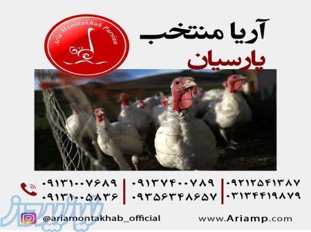 فروش جوجه بوقلمون یک روزه و یک ماهه شیراز