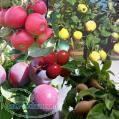 بذر انواع درخت میوه فروش