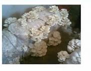 بذر قارچ های خوراکی