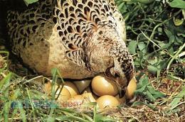فروش تخم نطفه دار مرغ محلی و بومی ؛ غاز ؛ بوقلمون ؛ اردک ؛کبک؛بلدرچین