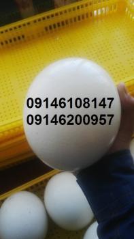 فروش تخم نطفه دار بدون واسطه از مرغداری با درصد هچ بالا  - تهران