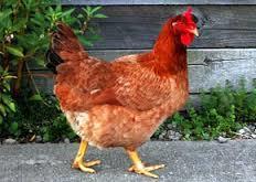 تخم نطفه دار و جوجه مرغ محلی ؛ غاز ؛ بوقلمون ؛ کبک ؛ اردک