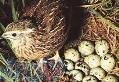 فروش گوشت و تخم (نطفه دار و خوراکی)بلدرچین و فروش خود بلدرچین