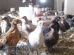 فروش جوجه یکروزه مرغ بومی تخم گذار آ نیمچه دو ماهه