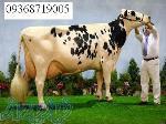 خرید و فروش دام گوساله و گاو صنعتی